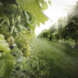 Kimesbjerggaard vingård